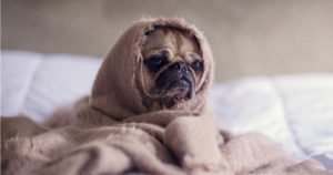 Pug wrapped up in blanket